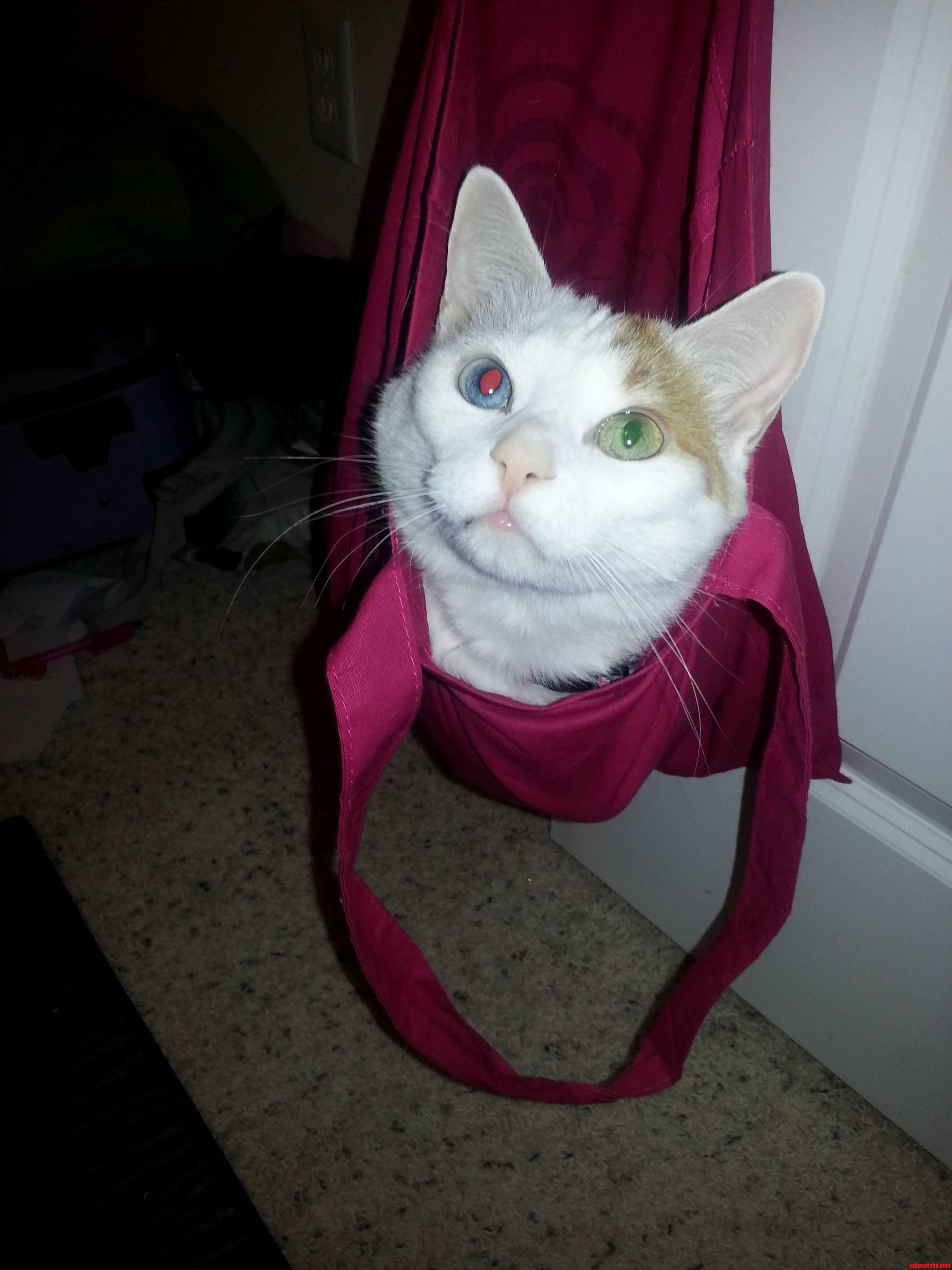 My Pretty Heterogeneous-Eyed Cat Just Hanging Around