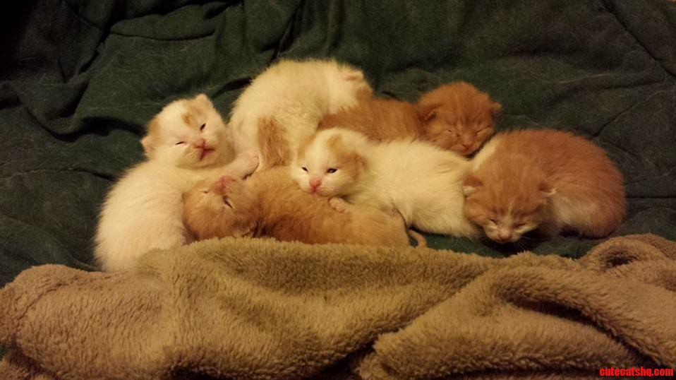 Orange And White Tabby Kittens Just Opening Their Eyes.