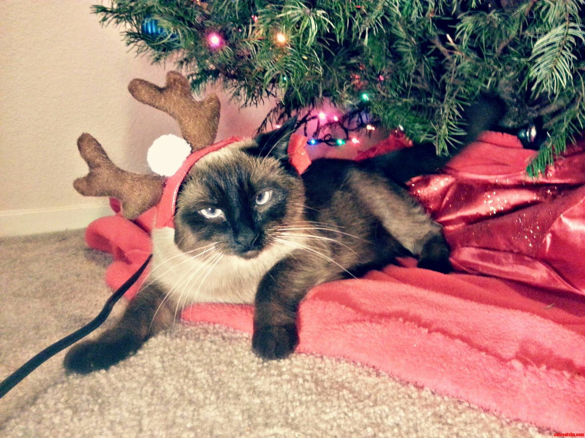 Someones Not In The Christmas Spirit | Cute cats HQ - Pictures of ...