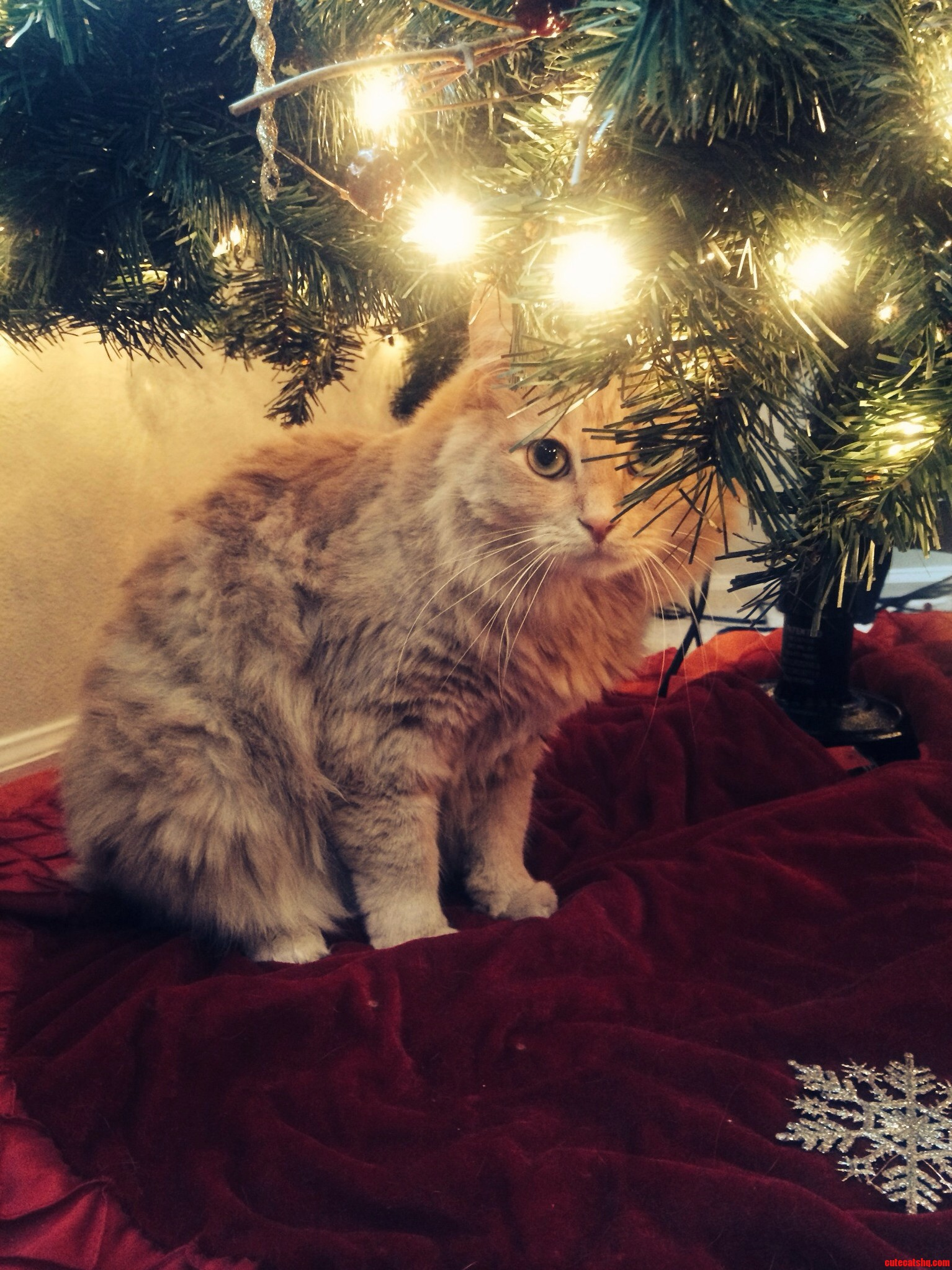 This Is Ginny My Christmas Cat.