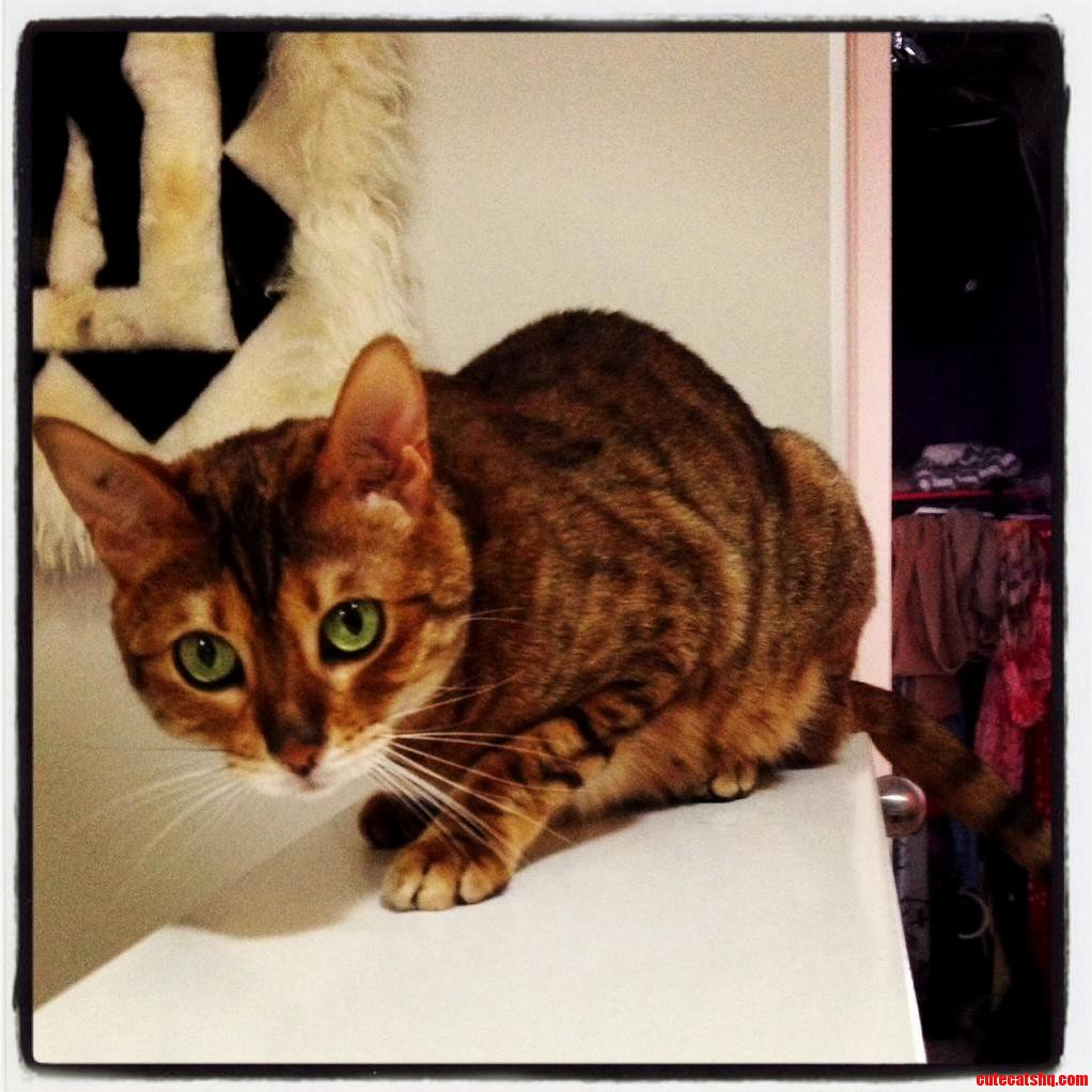 Cheeky Mia The 5 Year Old Bengal