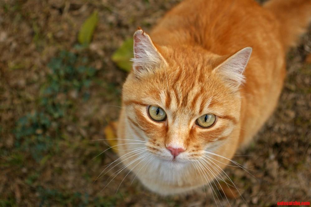 Curious Orange Neighbor Cat