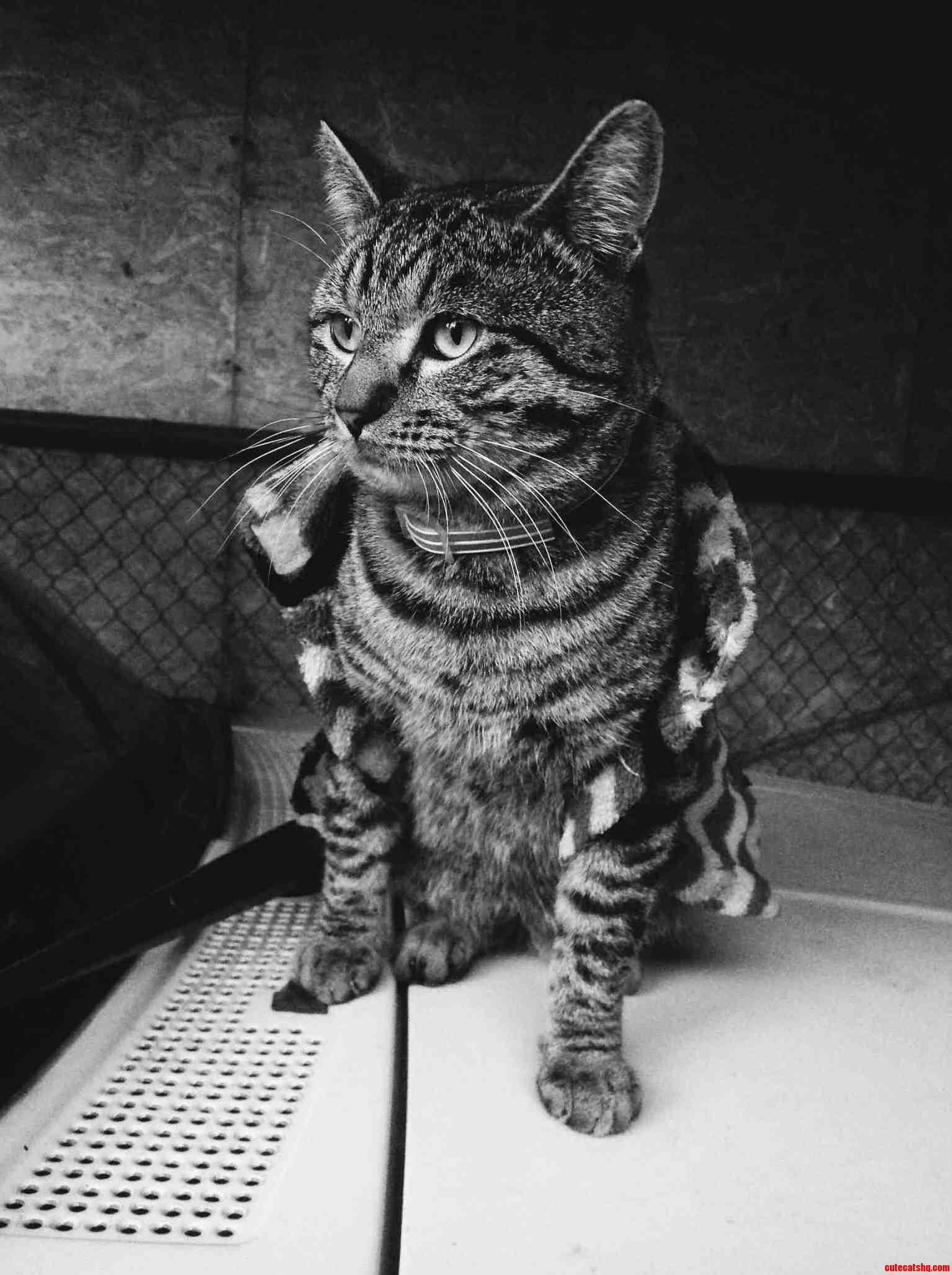 Fat Cat In A Little Coat. Oc