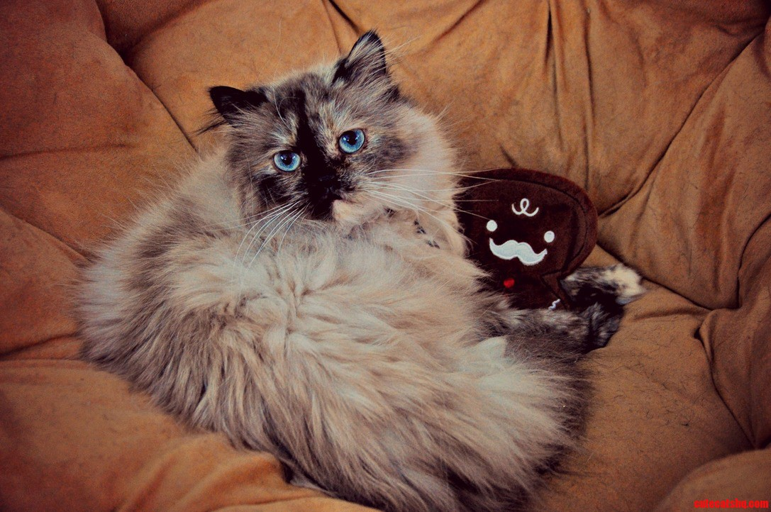 I Got My Himalayan A Mustached Gingerbread Man For Christmas.