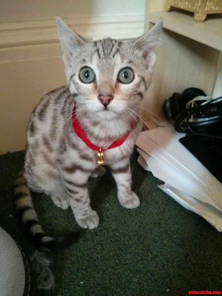 Lindt Chocolate Kitten.