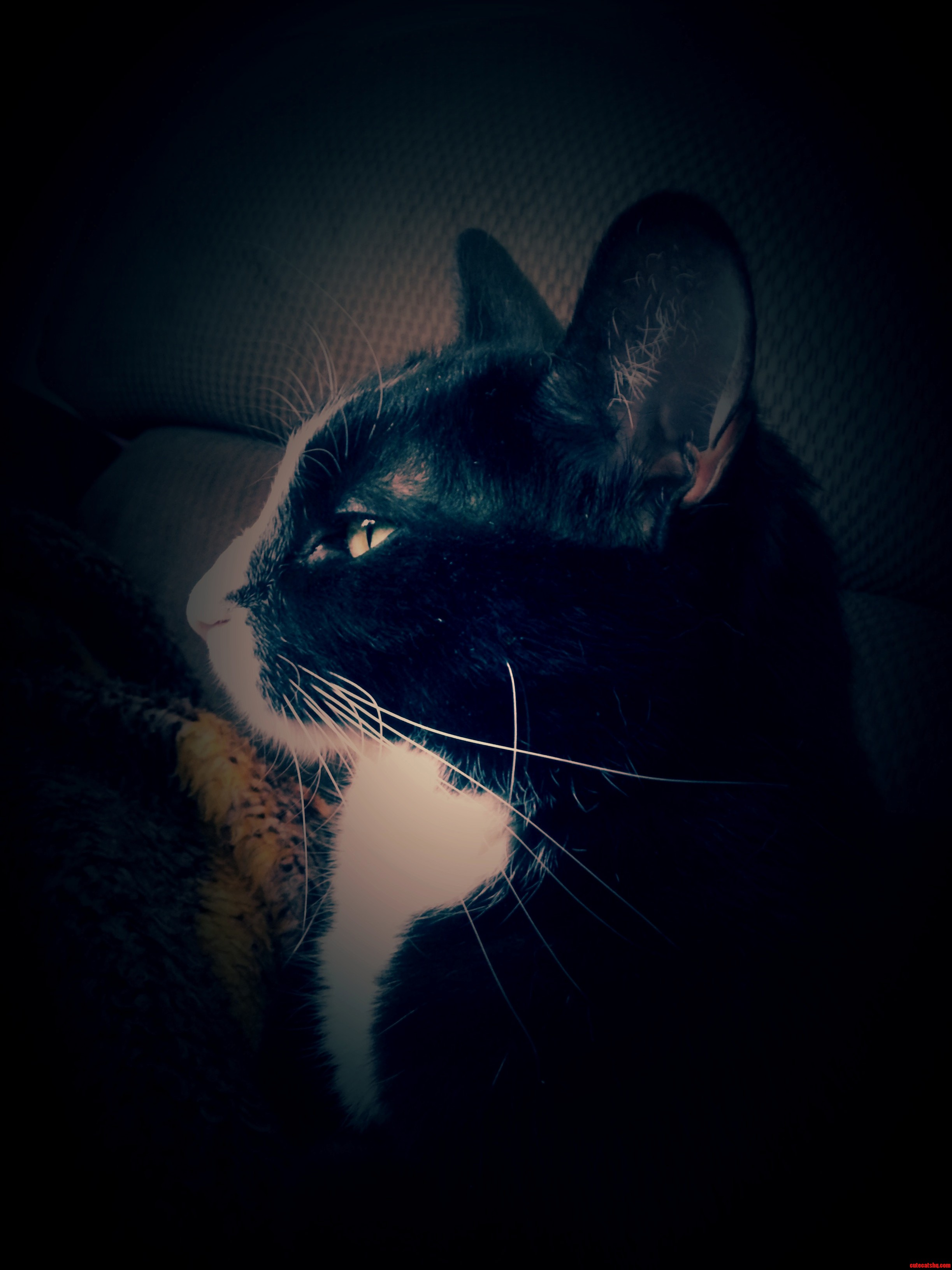 Oskar. Tuxedo Billy Cat.