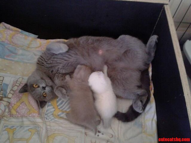 Our New Lilac British Shorthair With His Mama