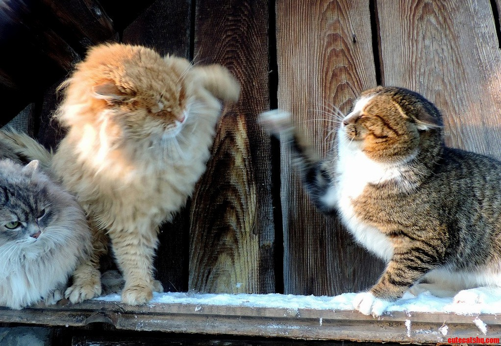 The Dueling Cats