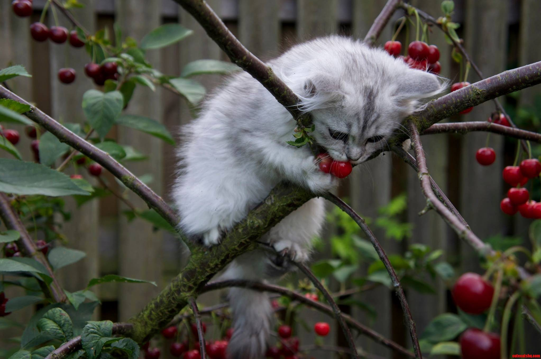 White Persian Ragdoll In A Tree Eating Cherries