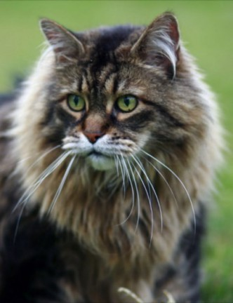 Classic Maine Coon male cat