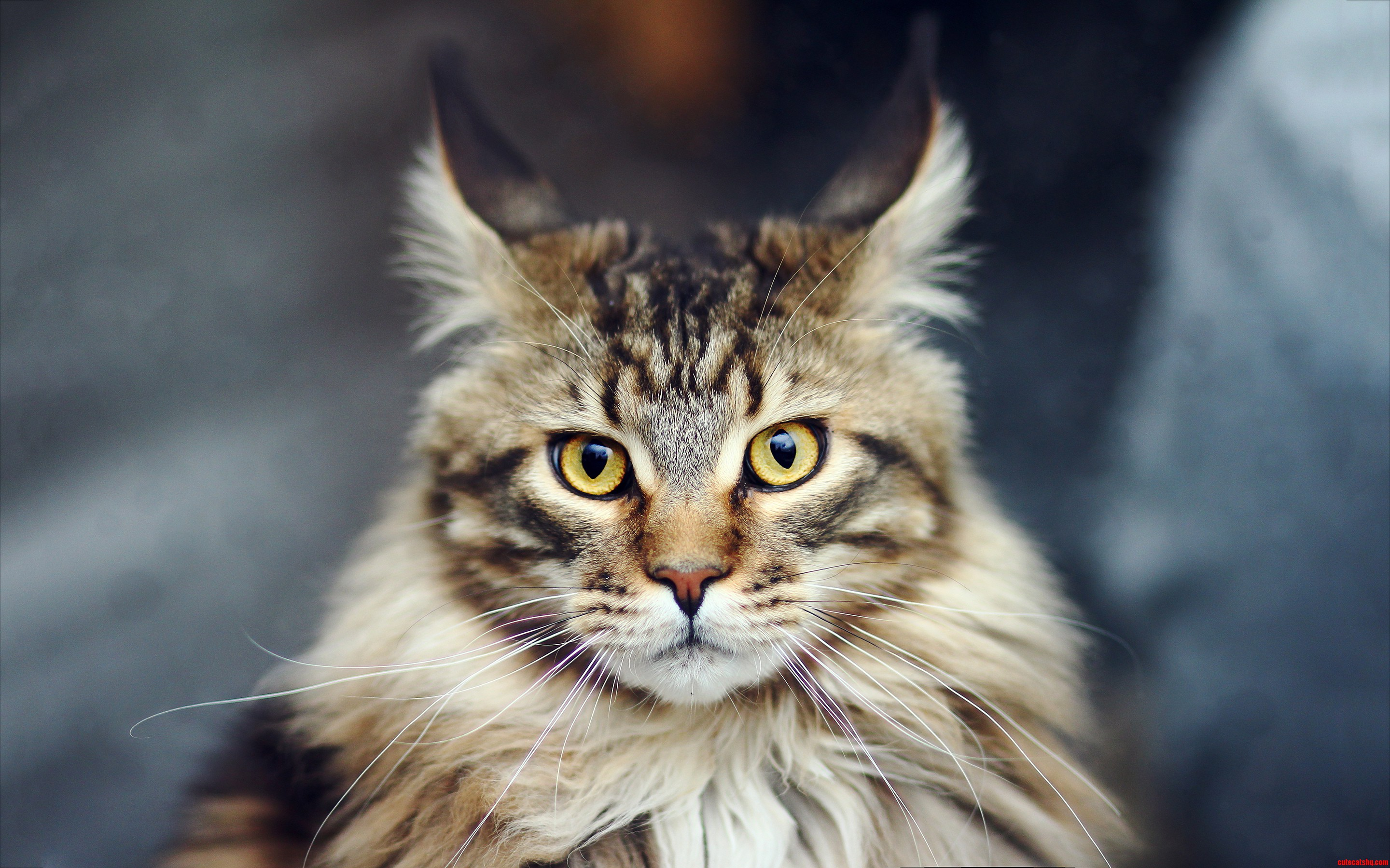 A Favorite Among Cat Lovers - The Maine Coon | Cute cats ...