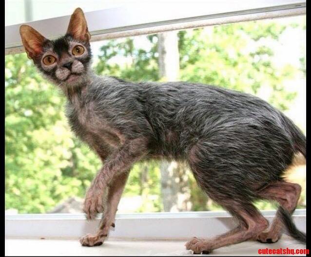 Meet The Lykoi Aka The Werewolf Cat.