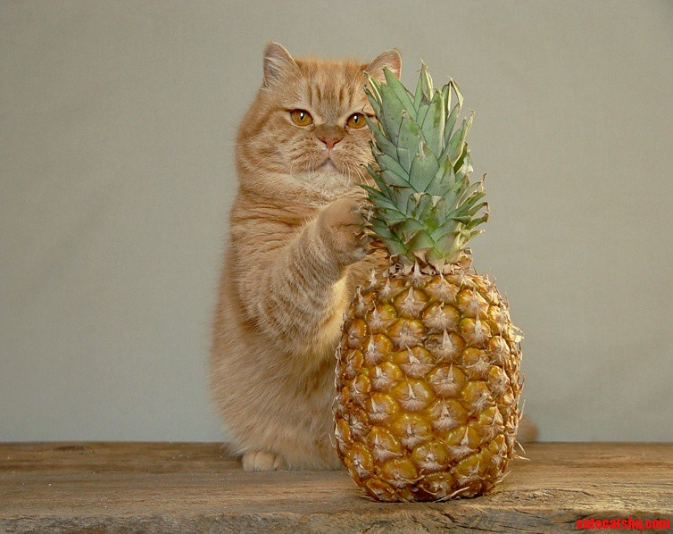 Pineapple Cat 2