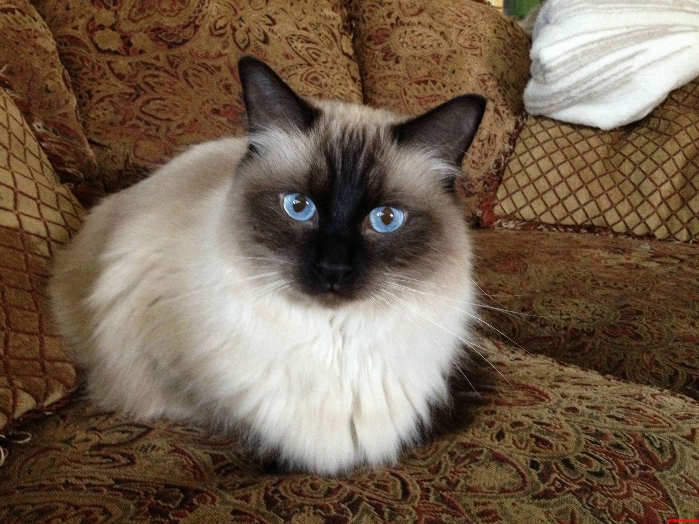 kittys blue eyes cute cats hq   pictures of cute cats