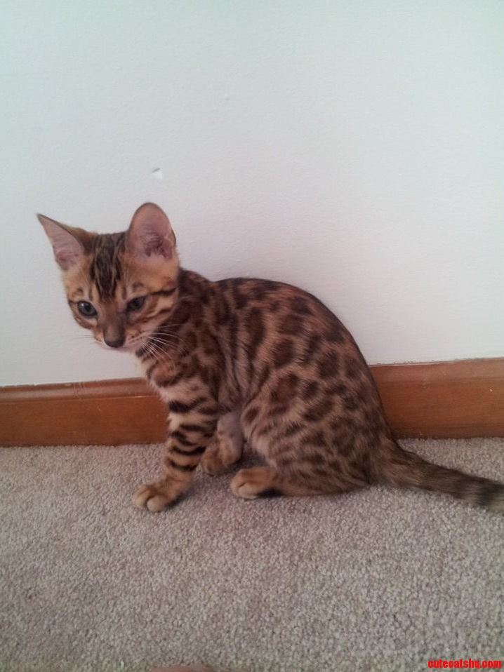 My New Bengal Kitten 13 Weeks Old
