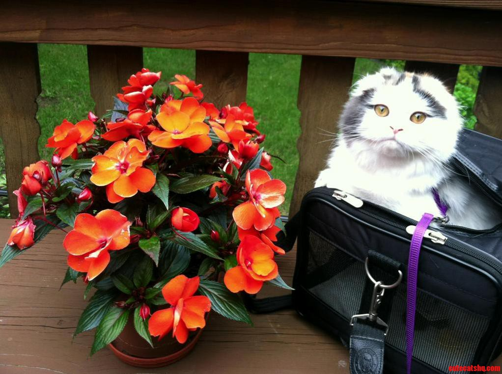 My Parents Scottish Fold Enjoying Nature
