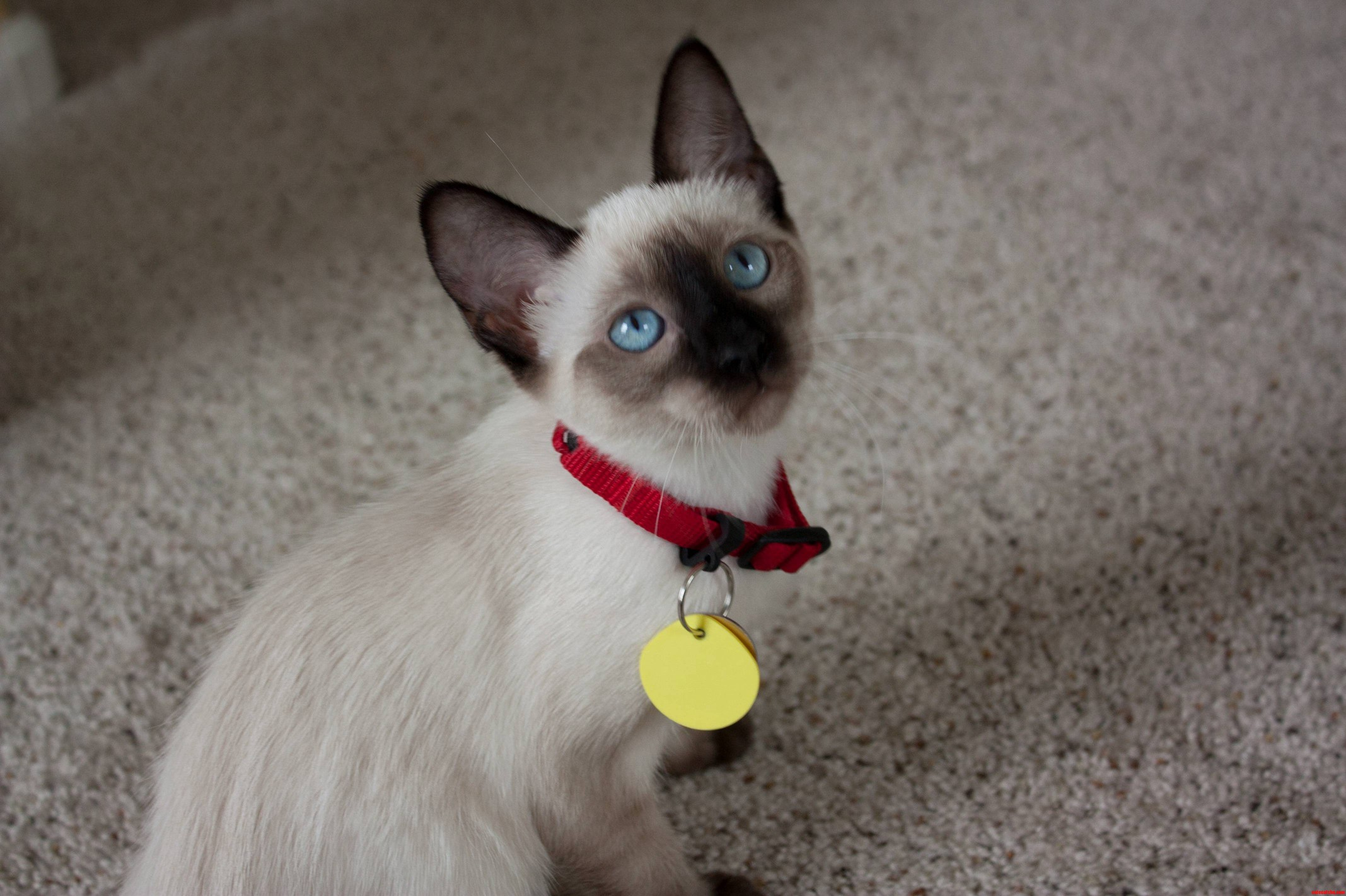 My Sealpoint Siamese When She Was A Kitten… Shes All Brown Now
