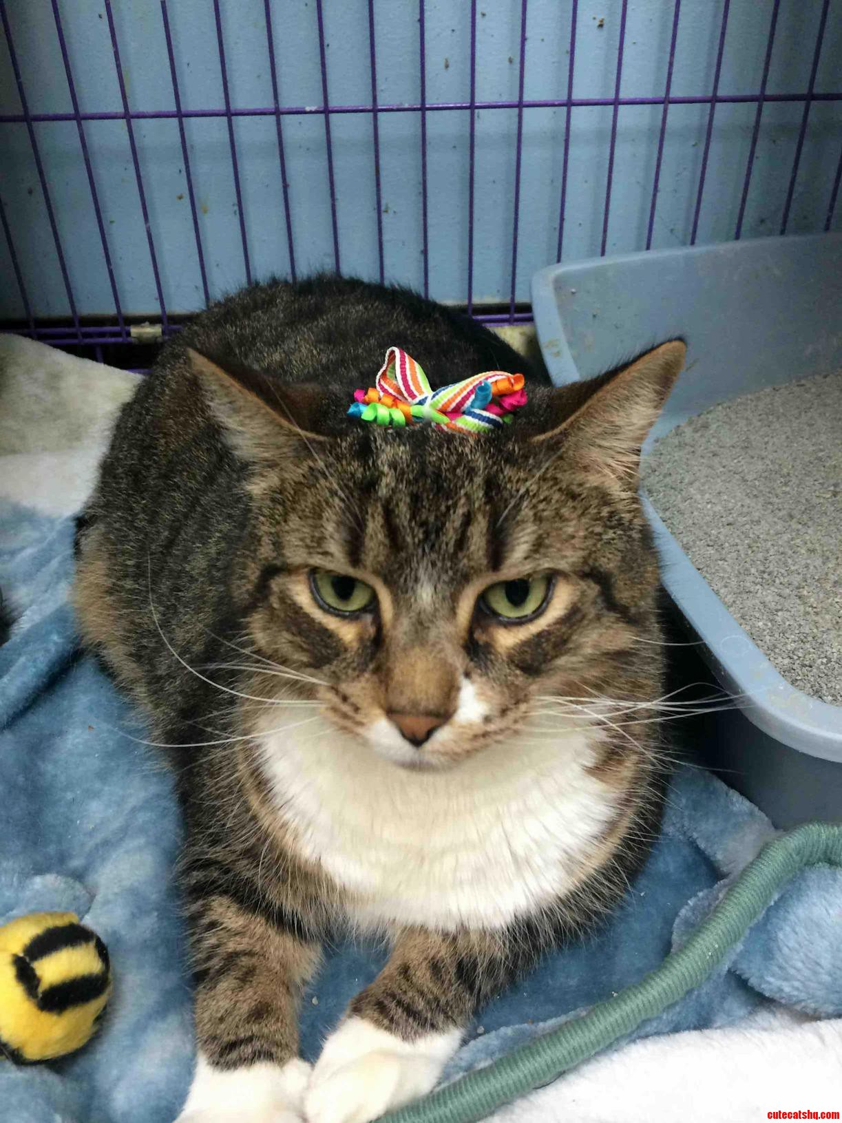 This Cat Does Not Approve Of The Bow In His Hair.