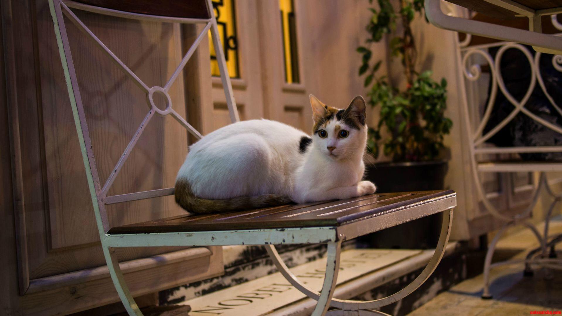 A Turkish Street Kitty.