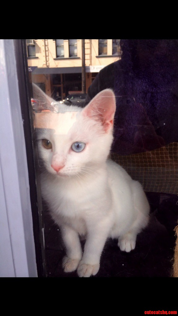 Brown And Blue Eyed Kitten Next To My Shop. Was Sold In 1 Day