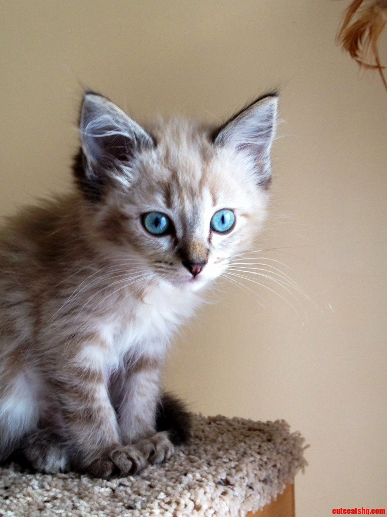Meet One Of Our New Ragdolls. Those Eyes