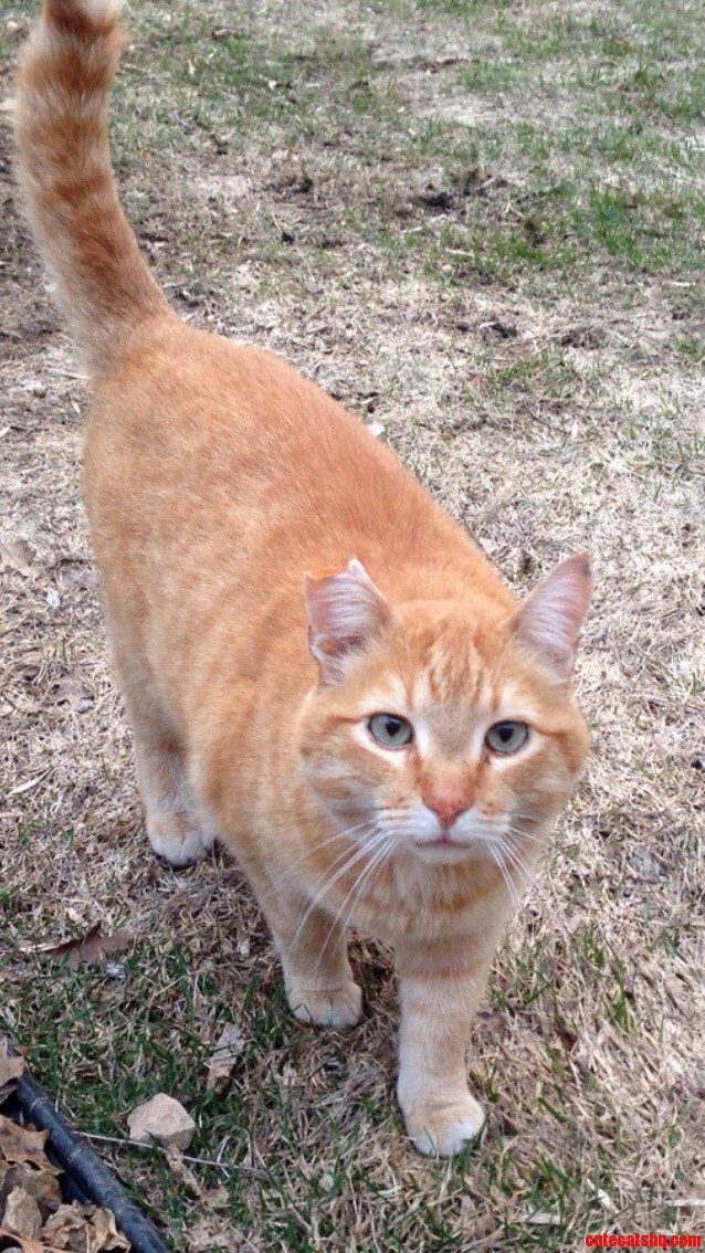 Meet Tony The Neighborhood Orange Tabby.