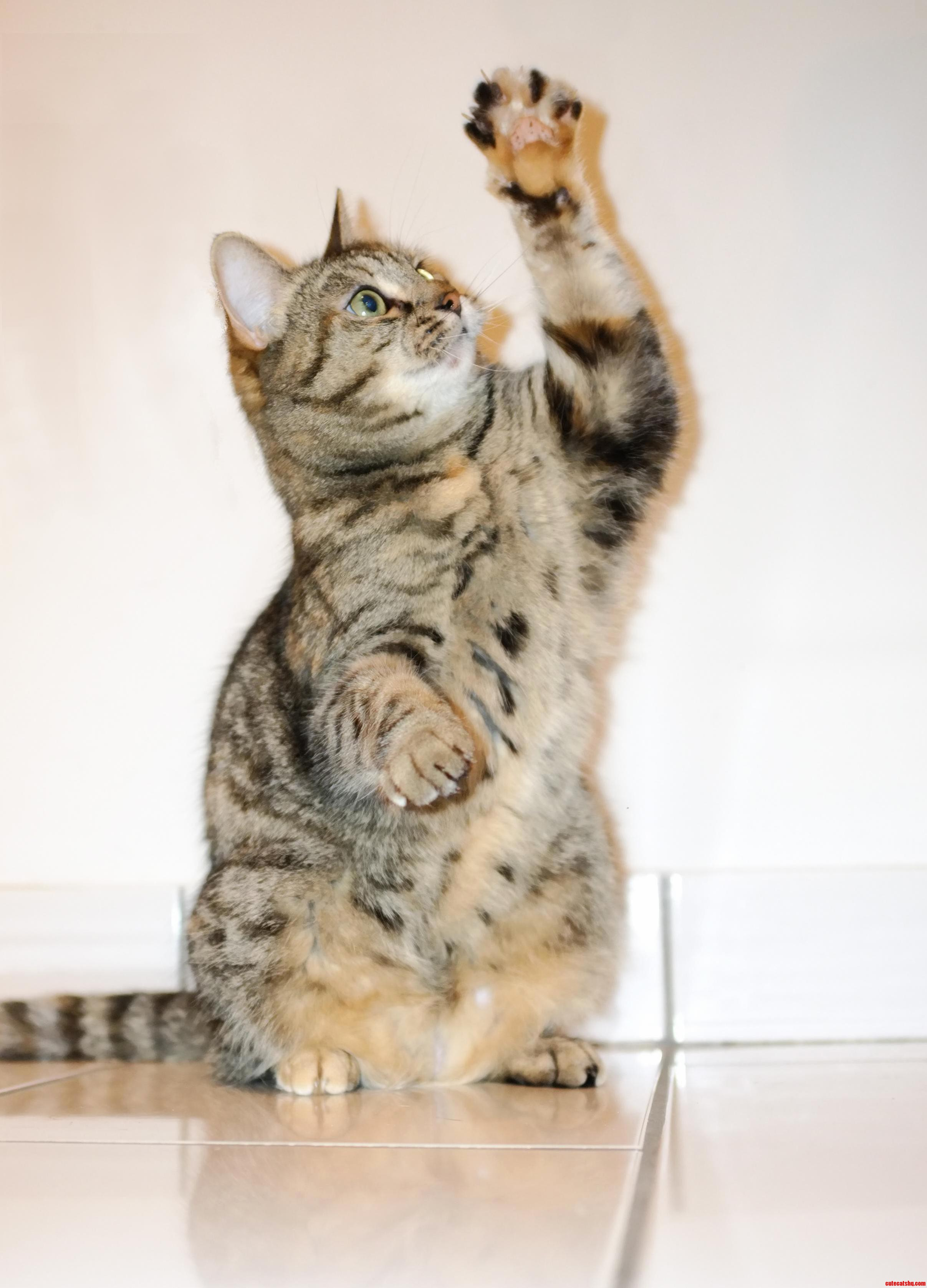 My Cat Leela Attempting To Grab A Toy