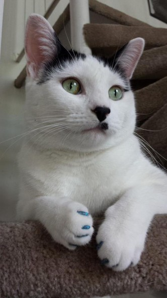 Tried Out Soft Paws After Reading The Jackson Galaxy Ama. Kevin Looks Fabulous