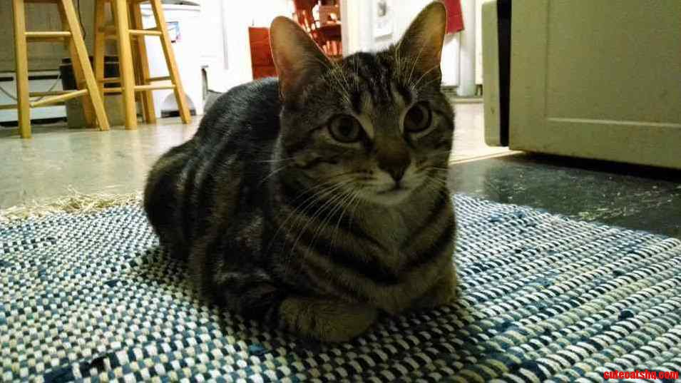 Waiting Patiently For Tabby Tuesday