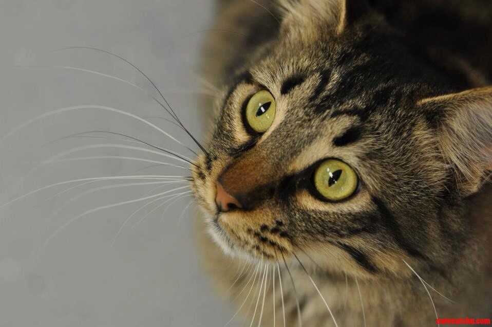 Whiskers. Photo Taken By My Wife Of A Cat At Our Local Shelter
