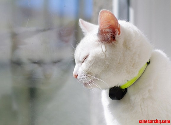 Cats With White Fur And Skin On Their Ears Are Very Prone To Sunburn 3 3