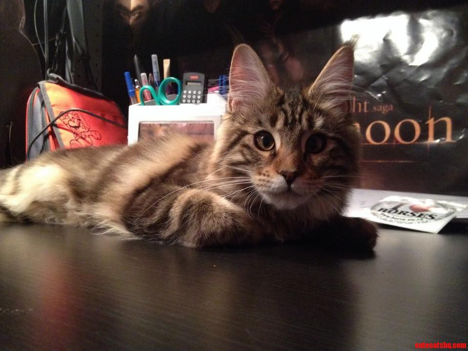 Is This A Maine Coon Or Just A Dlh