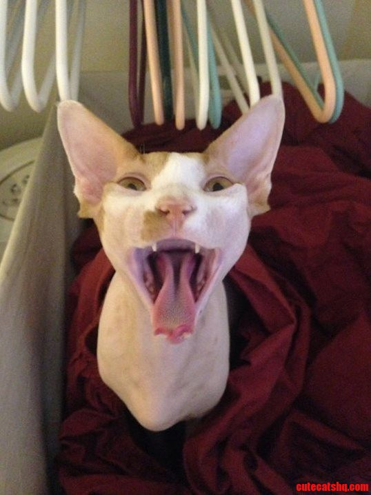 Mars Yawning. My Son Took This Awesome Picture Of Our Sphynx Mars In Mid-Yawn.