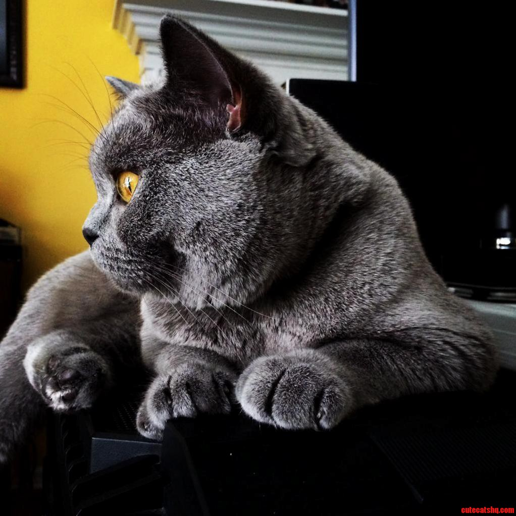 My Baxter The British Shorthair