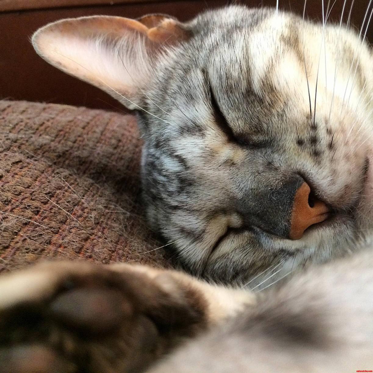 My Beautiful Sleeping Bengal