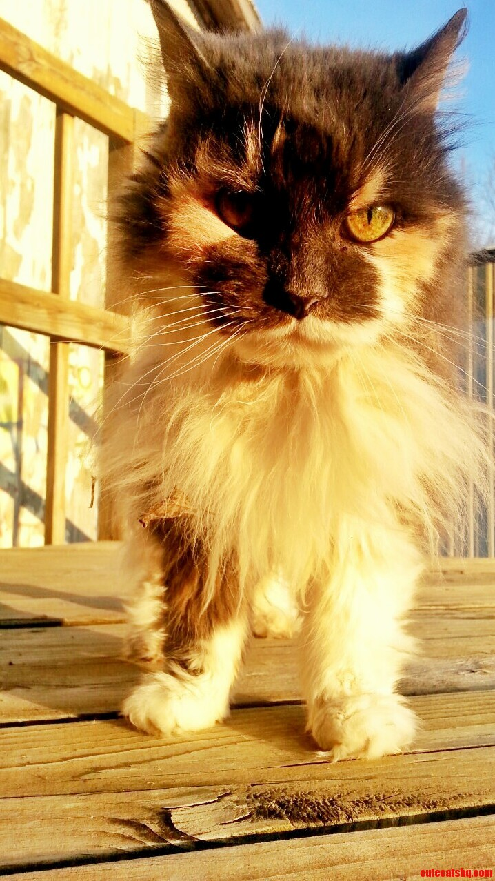 My Buddys Barn Cat Ewok. Shes Nearly 20 And Still The Most Beautiful Cat I Ve Seen.