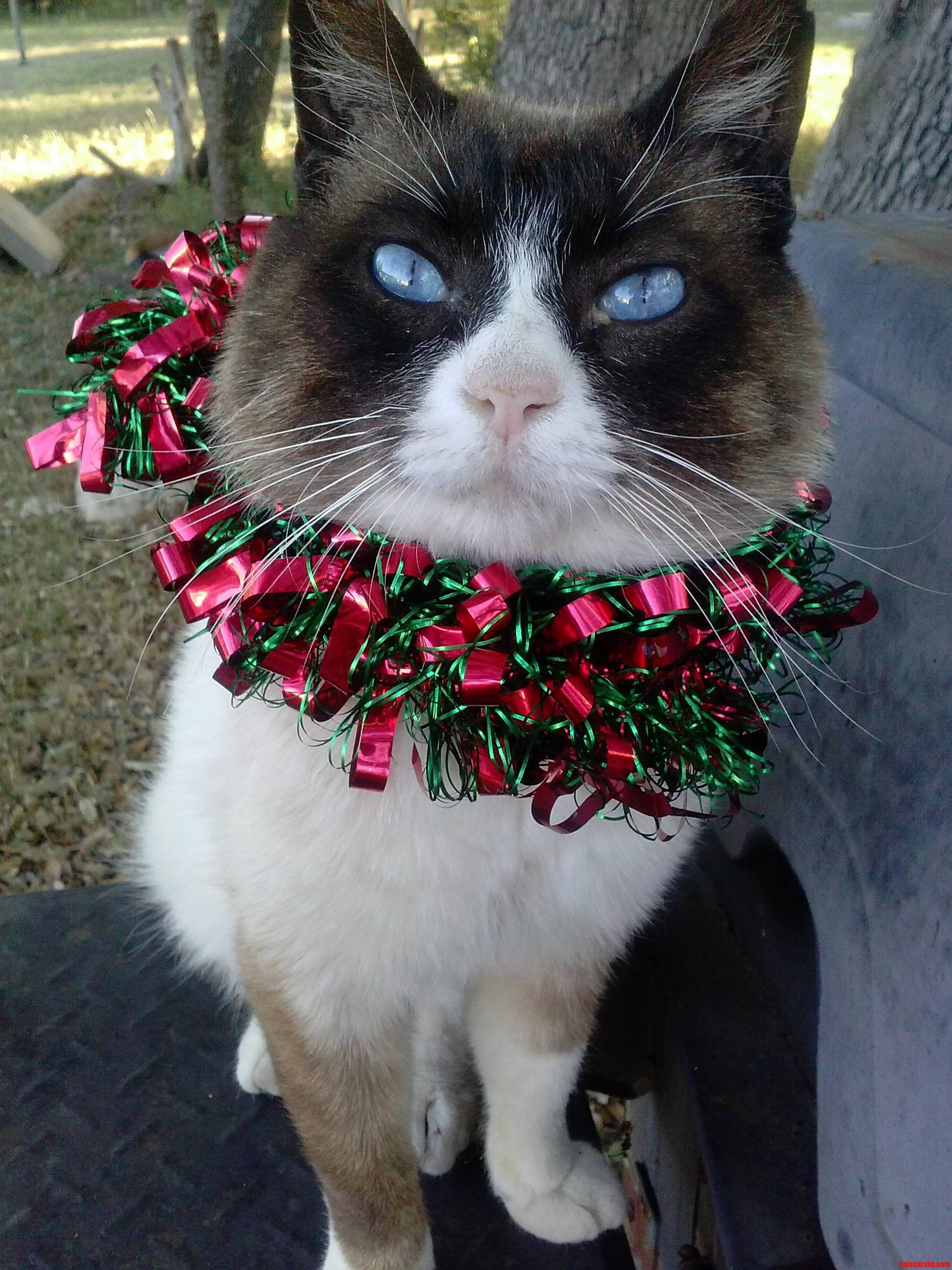 My Cat In Christmas Decorations.