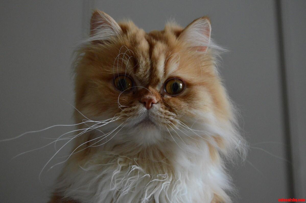 cat gets teeth brushed