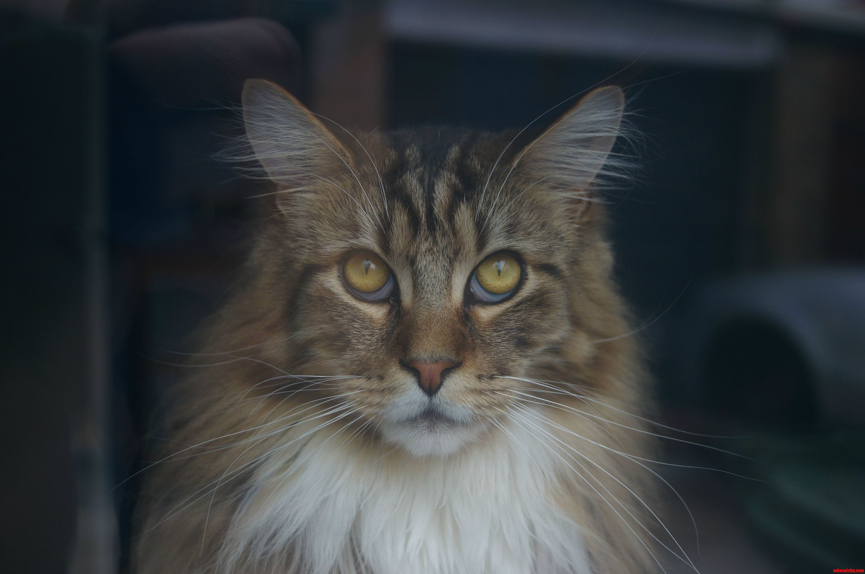 My Majestic Maine Coon Leon 1 Year Old