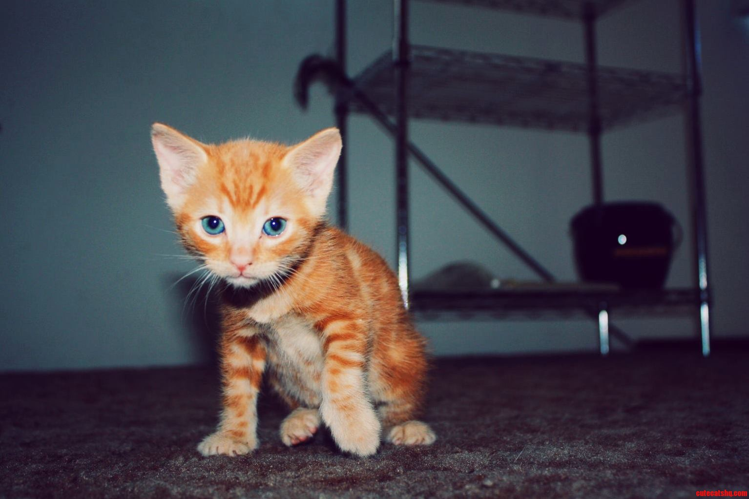 Orange Female Kitten Anyone This Is Honey She Is 6 Weeks Old And As Feisty As She Looks.