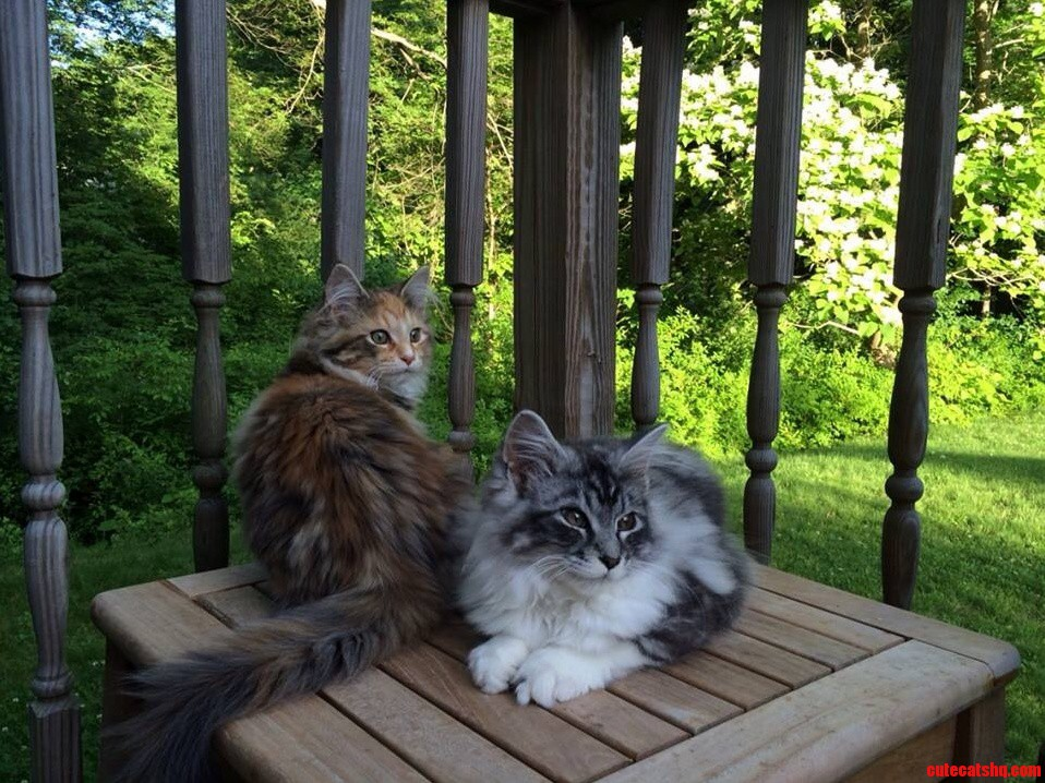Our 4 Month Old Maine Coons Chillin On The Back Deck.