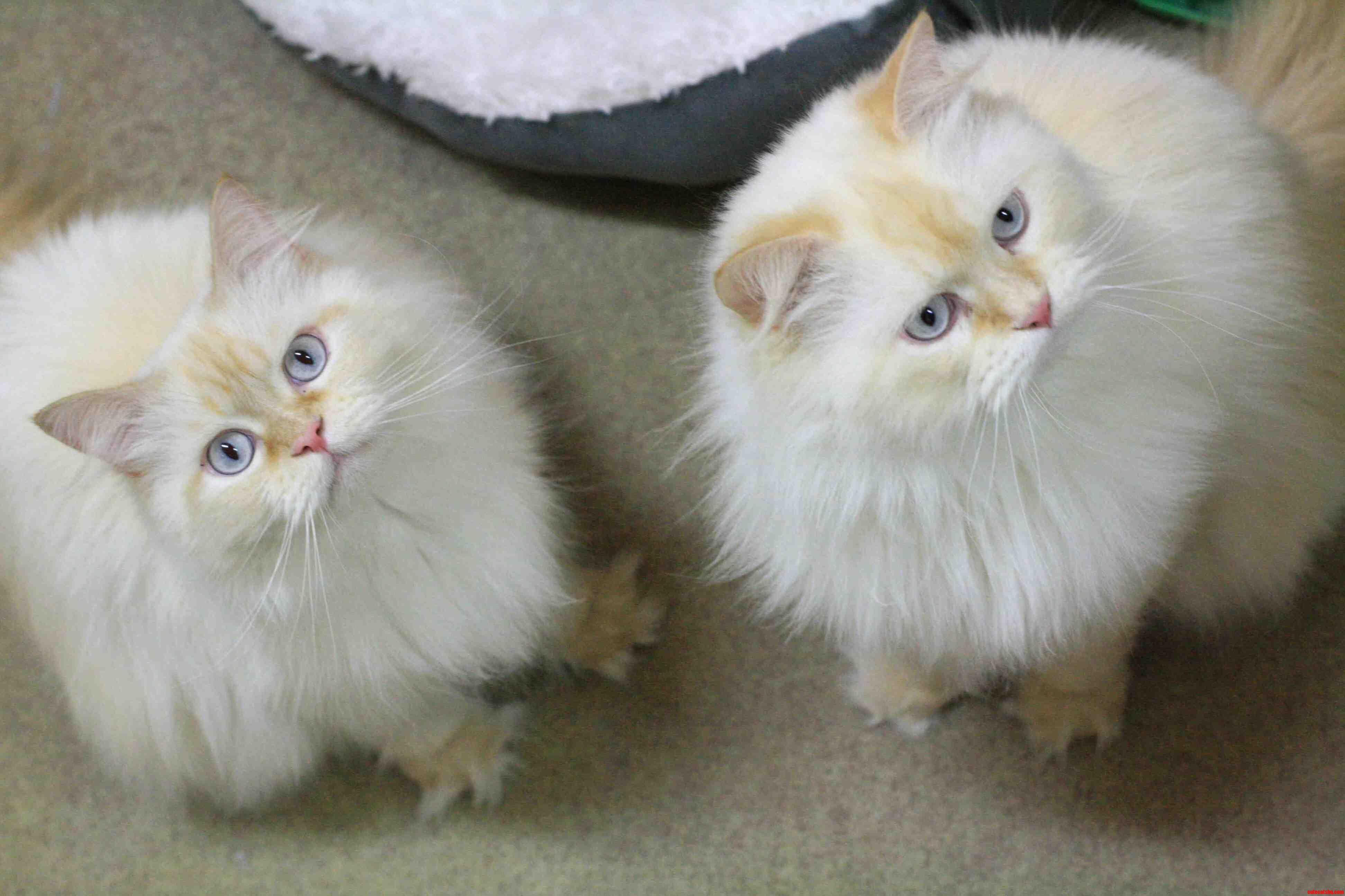 Purebred Himalayan Brothers That Were Abandoned And Later Wound Up At My Local Cat Rescue.