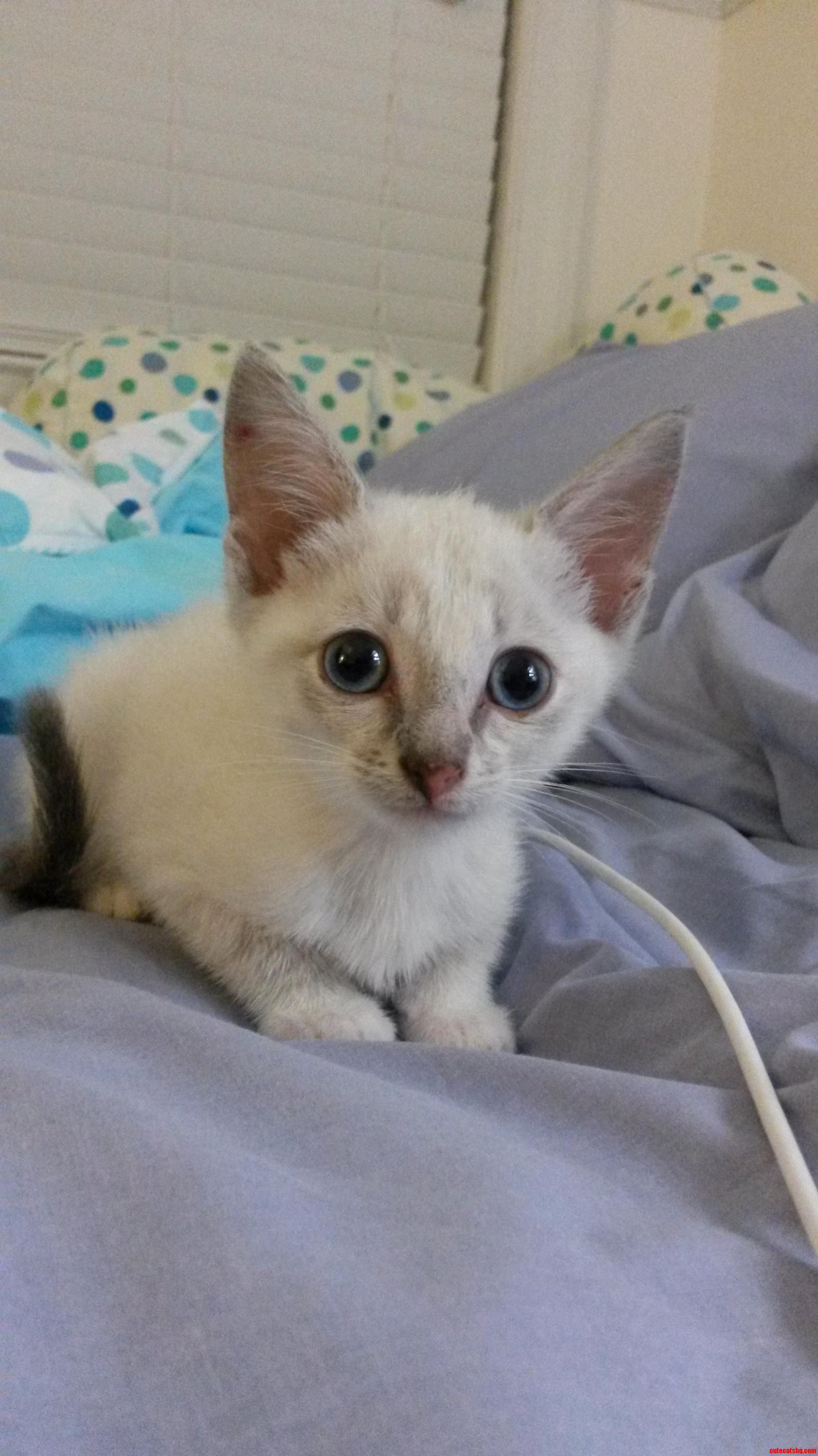 What Breed Kitten Is This Does Her White Fur And Blue Eyes Mean She Ll Be Deaf