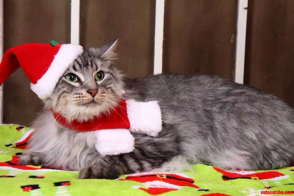 Christmas Cat Photo Shoot