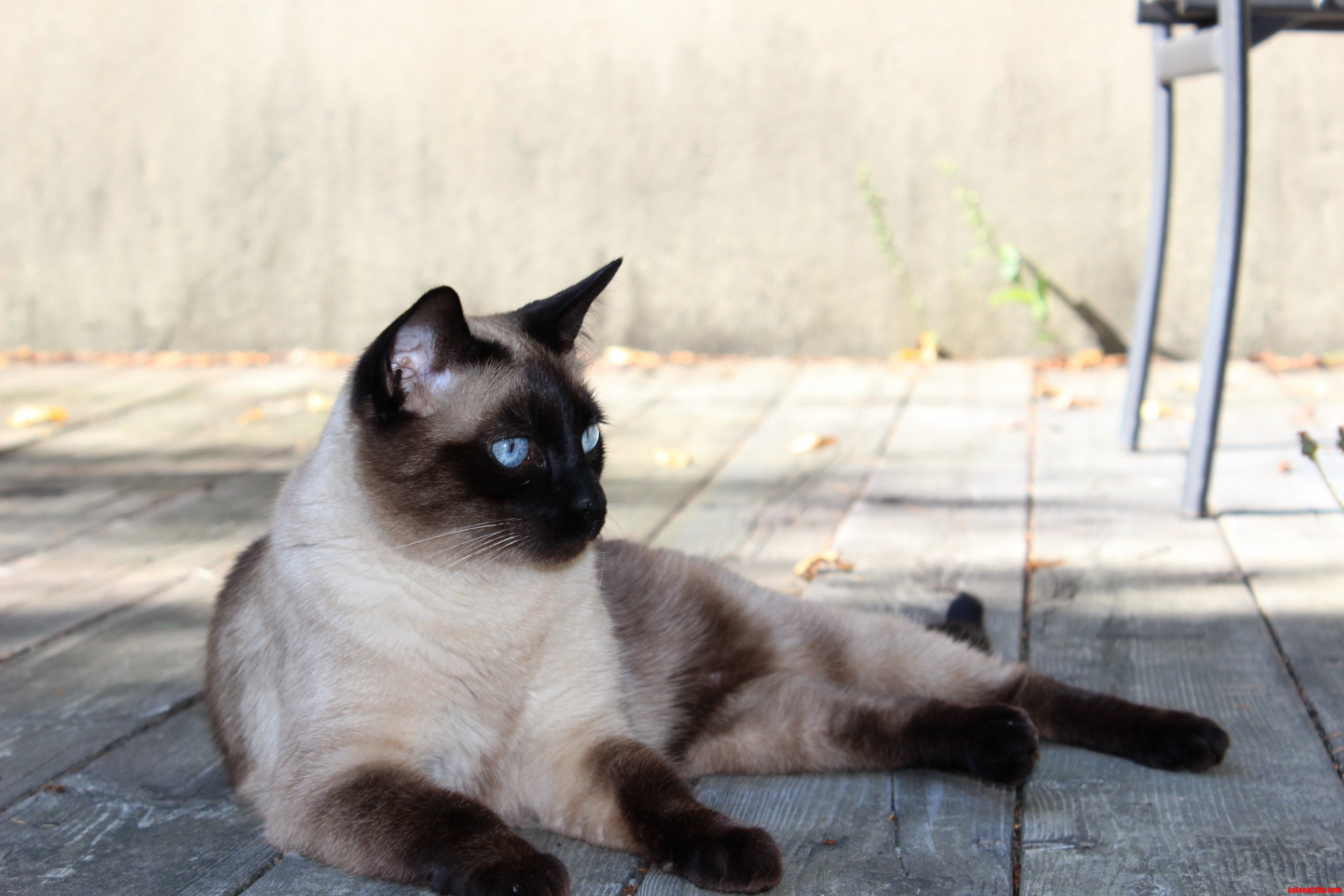 Finally A Picture Without Red Eye Cisco My Siamese.