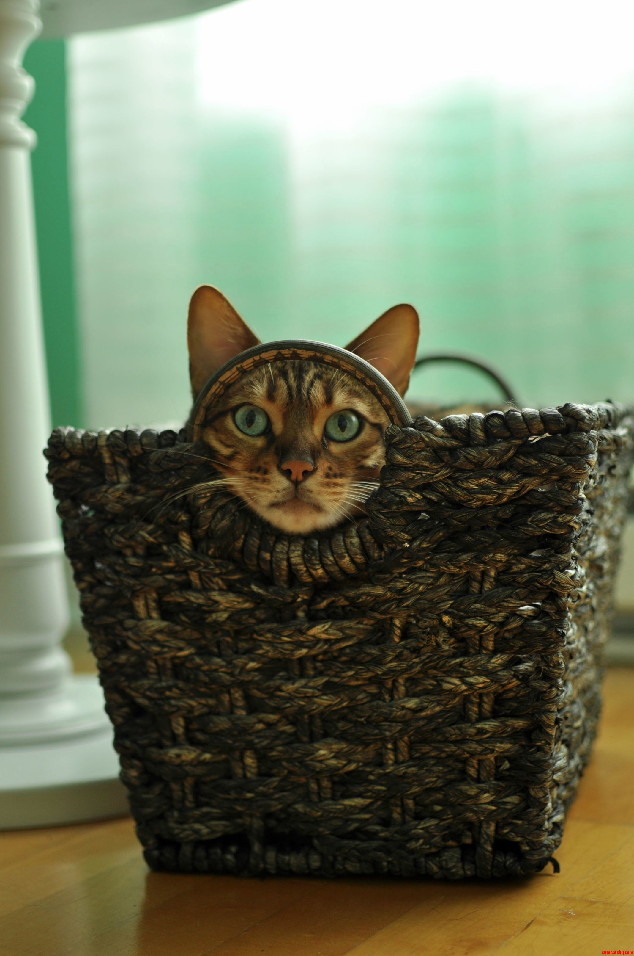 Found My Bengal Cat In The Basket…
