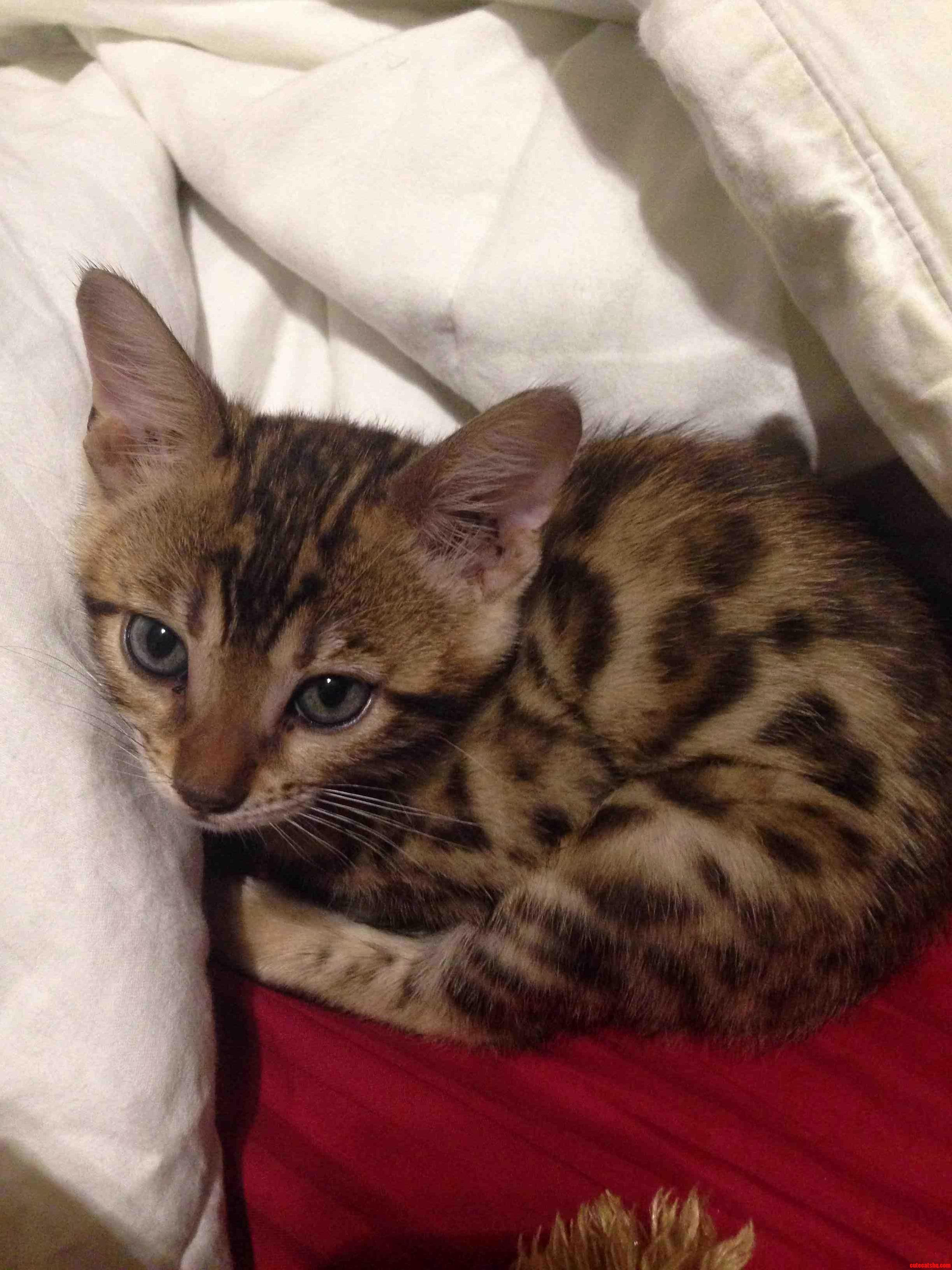 Its A New Girl And I Am Looking For Something That Just Fits Right With A Bengal