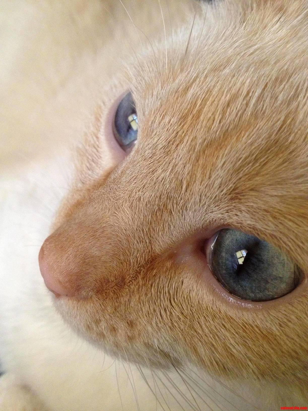 Meet My Flame Point Deigh. His Eyes Still Amaze Me…