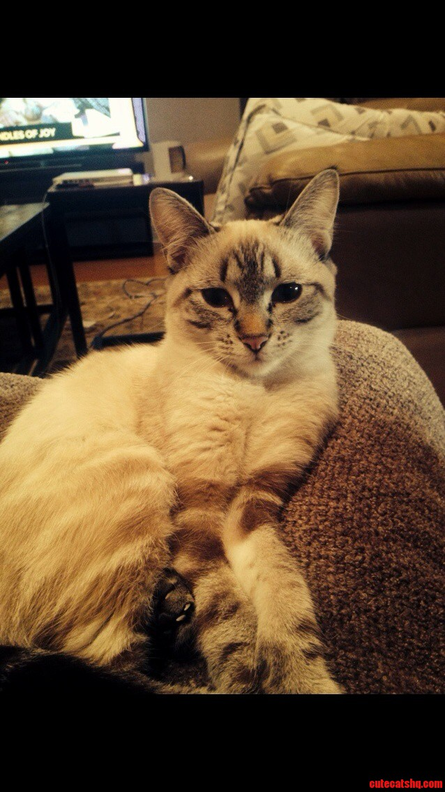 My Lynx Point Siamese Never Leaves My Lap.