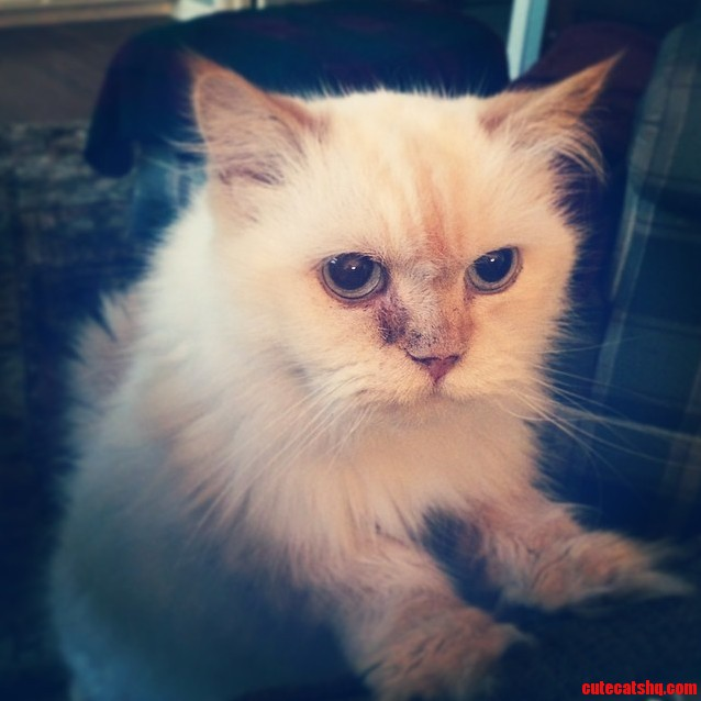 My Parents Himalayan Mix Mille. .